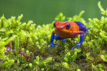 Strawberry poison dart frog  (Oophaga pumilio - aka Dendrobates pumilio) La Selva Field Station, Costa Rica.