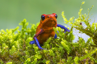Strawberry poison dart frog  (Oophaga pumilio) La Selva Field Station, Costa Rica.