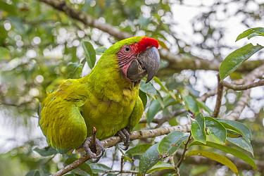 Great greem macaw (Ara ambiguus) La Selva Field Station, Costa Rica.