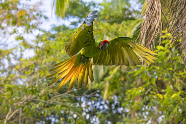 Great greem macaw (Ara ambiguus) flying,  La Selva Field Station, Costa Rica.