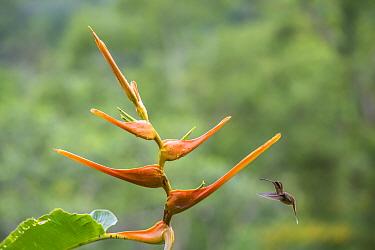 Stripe-throated hermit hummingbird (Phaethornis striigularis) feeding on Heliconia flower (Heliconia latispatha) La Selva, Costa Rica.