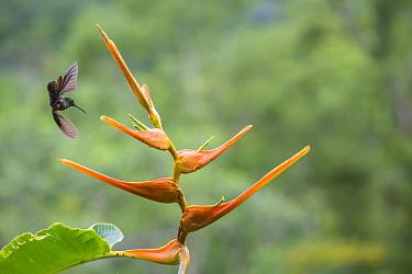 Red-footed plumeleteer hummingbird (Chalybura urochrysia) feeding on Heliconia flower (Heliconia latispatha) La Selva, Costa Rica.