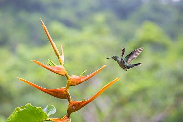 Scaly breated hummingbird (Phaeochroa cuvieri) visiting Heliconia in flower (Heliconia latispatha), La Selva, Costa Rica.