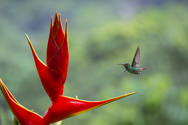 Rufous tailed hummingbird (Amazilia tzacatl) visiting Heliconia flower (Heliconia bihai) La Selva Field Station, Costa Rica.