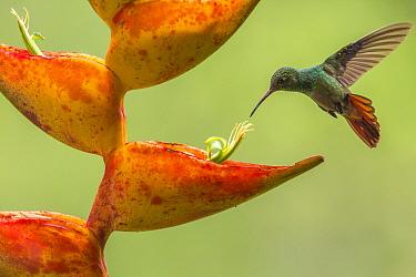 Rufous-tailed hummingbird (Amazilia tzacatl) feeding from Heliconia flower (Heliconia champneiana) La Selva Field Station, Costa Rica.