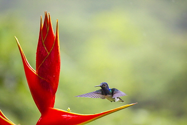 Violet sabrewing hummingbird (Campylopterus hemileucurus) visiting Heliconia flower  (Heliconia bihai) La Selva Field Station, Costa Rica.