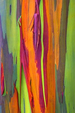 Rainbow eucalyptus (Eucalyptus deglupta) bark, Costa Rica.