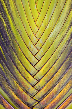 Travellers palm (Ravenala madagascariensis) close up of leaf intersections, Costa Rica.