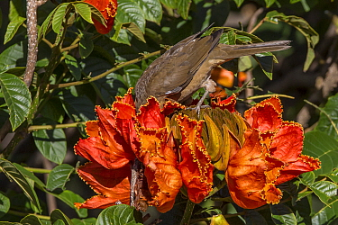 Clay-colored robin (Turdus grayi), drinking from flower ofAfrican tulip tree (Spathodea campanulata) Costa Rica. This tree is an invasive species.