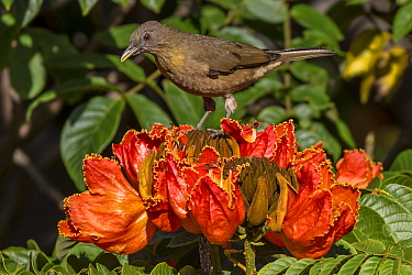 Clay-colored robin (Turdus grayi), drinking from flower of African tulip tree (Spathodea campanulata) Costa Rica. This tree is an invasive species.