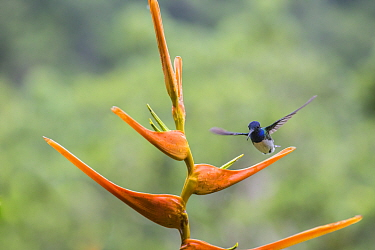 Violet sabrewing hummingbird (Campylopterus hemileucurus) visiting Heliconia flower (Heliconia latispatha), La Selva, Costa Rica.