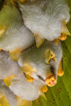 White tent making bat (Ectophylla alba) roosting in tree, La Selva Field Station, Costa Rica.