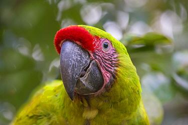 Great greem macaw (Ara ambiguus) portrait, La Selva Field Station, Costa Rica.