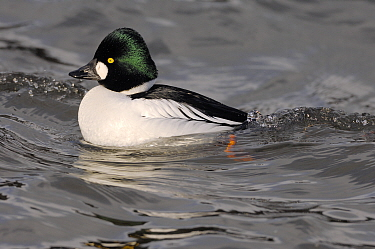 Goldeneye (Bucephala clangula) male bird in river Tweed Estuary, Berwick-upon-Tweed, Northumberalnd, England, February.