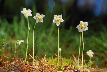 One-flowered Wintergreen (Moneses uniflora) in native pinewood, Easter Ross, Scotland, June
