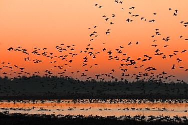 Pinkfooted geese (Anser brachyrhynchus) flock of geese returning to overnight roost on moorland loch at dusk, Scottish Borders, Scotland, October.