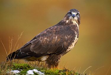Common buzzard (Buteo buteo), Isle of Mull, Inner Hebrides, Scotland, January