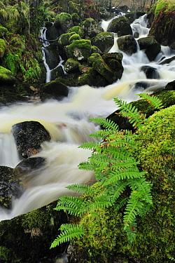Common polypody fern (Polypodium vulgare) growing on boulder by stream, Ardnamurchan Peninsula, Argyll, Scotland, January 2009