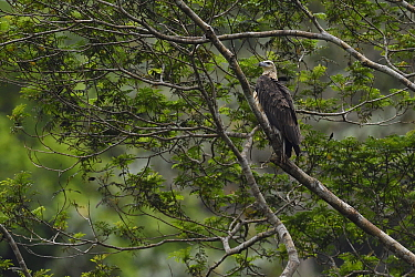 """Young White-bellied sea eagle (Haliaeetus leucogaster), Steaming rainforest in Misool, Gam river, Raja Ampat, Western Papua, Indonesian New Guinea, on the Science et Images """"Expedition Papua, in the f..."""