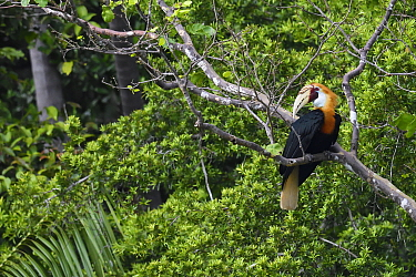Papuan / Blyth's hornbill (Rhyticeros plicatus) in tree, Triton Bay rainforest, Mainland New Guinea, Western Papua, Indonesian New Guinea