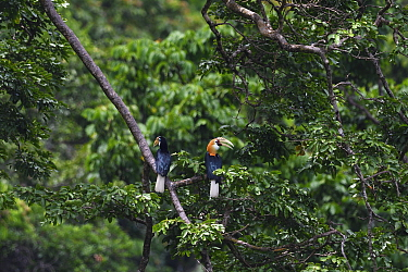 Blyth's hornbill (Rhyticeros plicatus), Lowland rainforest, Karawawi River, Kumawa Peninsula, mainland New Guinea, Western Papua, Indonesian New Guinea