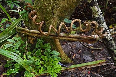 Spiral vine / liana, Lowland rainforest, near Kap Araide, Kumawa Peninsula, Western Papua, Indonesian New Guinea