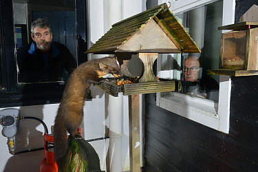 Young male Pine Marten (Martes martes) feeding on fruit cake on a bird table at a guest house at night, watched by two guests, Knapdale, Argyll, Scotland, October. Photographed using a remote camera....