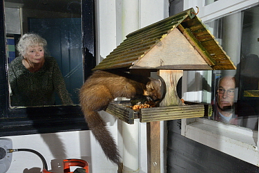 Young male Pine Marten (Martes martes) feeding on fruit cake on a bird table at a guest house at night, watched by the owner and a guest, Knapdale, Argyll, Scotland, October. Photographed using a remo...