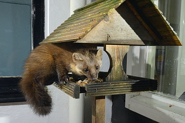 Adult female Pine Marten (Martes martes) feeding on fruit cake on a bird table at a guest house at night, Knapdale, Argyll, Scotland, October. Photographed using a remote camera trap. Property release...