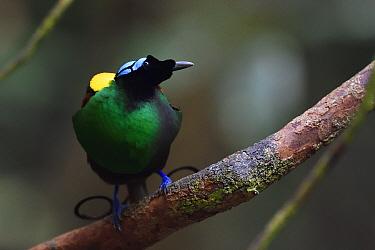 Wilson's bird-of-paradise (Cicinnurus respublica), Waigeo, Raja Ampat, Western Papua, Indonesian New Guinea