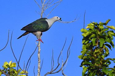 Spice imperial pigeon (Ducula myristicivora) Raja Ampat, Western Papua, Indonesian New Guinea.