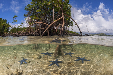 Split level view blue starfish (Linckia laevigata) scattered in the shallow white sands and a mangrove tree with its numerous aerial root (Rhizophora sp), Nukubati Island Resort, Macuata Province, Fij...