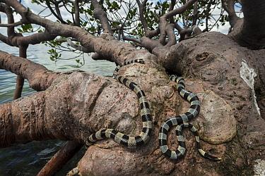 Banded sea kraits (Laticauda colubrina) in mangrove tree at low tide, Mali Island, Macuata Province, Fiji, South Pacific
