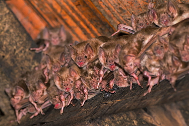 Commpon vampire bat ( Desmodus rotundus) group, Pantanal, Brazil