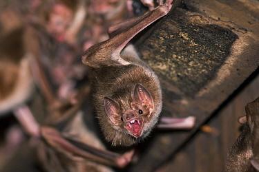 Common Vampire Bat ( Desmodus rotundus) with teeth bared, Pantanal, Brazil