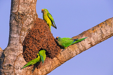 Peach-fronted Parakeet (Aratinga aurea) investigating old termite mound as possible nest site, Pantanal, Brazil.