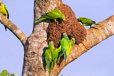 Peach-fronted parakeets (Aratinga aurea) investigating old termite mound as possible nest site, Pantanal, Brazil.