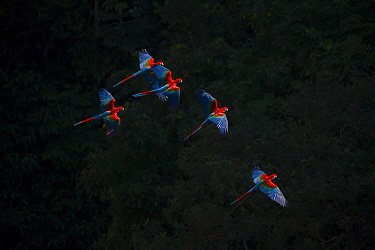 Red-and-Green Macaw (Ara chloropterus) group in flight, against black background, Pantanal Brazil