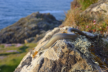 Slow worm (Anguis fragilis) sunning on a lichen covered boulder on coastal clifftop grassland, Cornwall, UK, May.