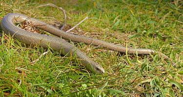 Slow worm (Anguis fragilis) on coastal grassland, Cornwall, UK, May.