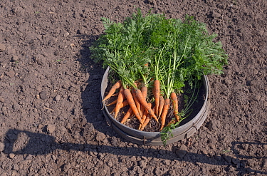 Carrots (Daucus carota subsp. sativus) just picked in seive