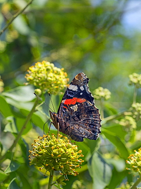 Red admiral butterfly (Vanessa atalanta) on ivy flowers, Norfolk, England, UK, August.