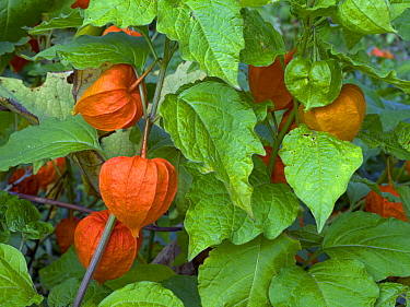 Chinese lanterns (Physalis alkekengi) growing in garden.