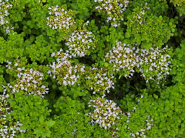 Compact marjoram (Origanum vulgare) 'Compactum' in flower in kitchen garden