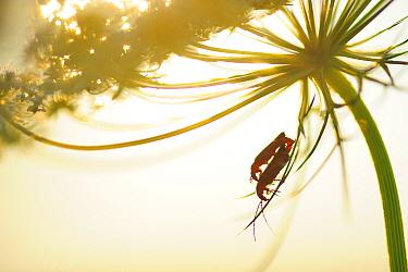 Soldier beetles (Rhagonycha fulva) Mon, Denmark, September.