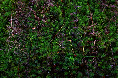 Wood horsetail (Equisetum sylvaticum)  and Haircap moss (Polytrichum) Lentiira, Finland, September.