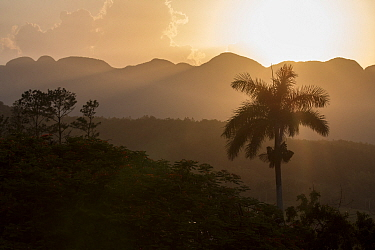 Landscape of Vinales with Cuban royal palm (Roystonea regia) at sunrise, Cuba, July 2017.