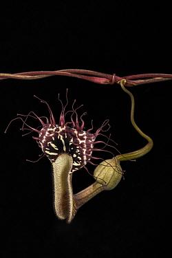 Dutchman's pipe (Aristolochia passiflorifolia) Camaguey, Cuba, July.