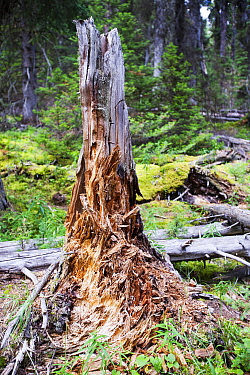 Rotting tree stump in forest in Johnsons Canyon in the Banff National Park, Canadian Rockies, Canada, August 2012.