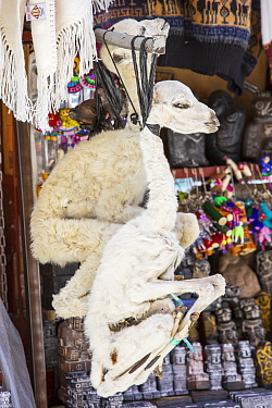Llama (Lama glama) foetus for sale in the Witches Market in La Paz, Bolivia, South America.